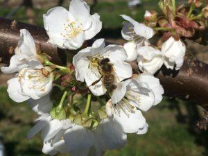 Biene befruchtet Ibiker Öpfelbäume