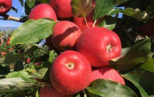 Feste und aromatische Äpfel aus Ibike