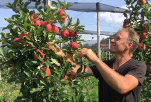 Obstbauer Thomas Knüsel prüft, ob die Äpfel erntereif sind.